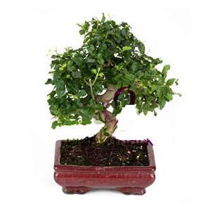 ithal bonsai saksi çiçegi  Hatay çiçek gönderme