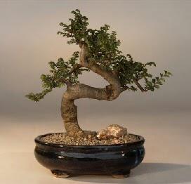 ithal bonsai saksi çiçegi  Hatay çiçek yolla