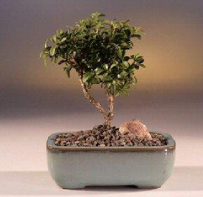 Hatay online çiçek gönderme sipariş  ithal bonsai saksi çiçegi  Hatay çiçek mağazası , çiçekçi adresleri