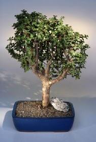 Hatay cicek , cicekci  ithal bonsai saksi çiçegi  Hatay kaliteli taze ve ucuz çiçekler