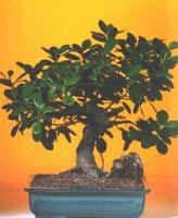 Hatay cicekciler , cicek siparisi  ithal bonsai saksi çiçegi  Hatay güvenli kaliteli hızlı çiçek