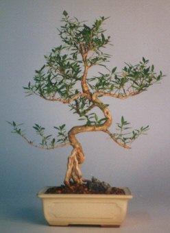 Hatay uluslararası çiçek gönderme  ithal bonsai saksi çiçegi  Hatay yurtiçi ve yurtdışı çiçek siparişi