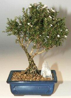 Hatay 14 şubat sevgililer günü çiçek  ithal bonsai saksi çiçegi  Hatay online çiçekçi , çiçek siparişi