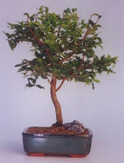Hatay anneler günü çiçek yolla  ithal bonsai saksi çiçegi  Hatay çiçek gönderme