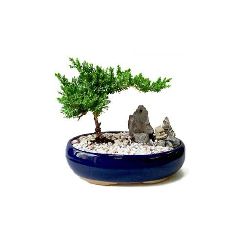 ithal bonsai saksi çiçegi  Hatay cicek , cicekci