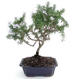 ithal bonsai saksi çiçegi  Hatay cicekciler , cicek siparisi