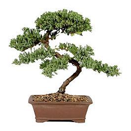 ithal bonsai saksi çiçegi  Hatay çiçek siparişi vermek