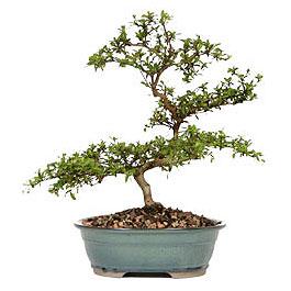 Hatay internetten çiçek siparişi  ithal bonsai saksi çiçegi  Hatay çiçek siparişi vermek