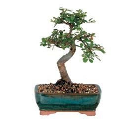 Hatay hediye sevgilime hediye çiçek  ithal bonsai saksi çiçegi  Hatay çiçek siparişi vermek