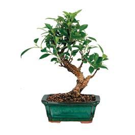 Hatay çiçek servisi , çiçekçi adresleri  ithal bonsai saksi çiçegi  Hatay çiçek satışı