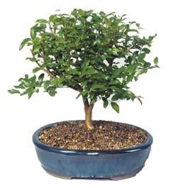 Hatay çiçek online çiçek siparişi  ithal bonsai saksi çiçegi  Hatay internetten çiçek satışı