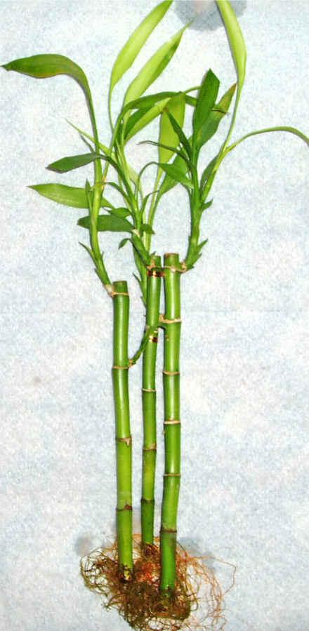Lucky Bamboo 3 adet vazo hediye edilir   Hatay çiçek yolla , çiçek gönder , çiçekçi