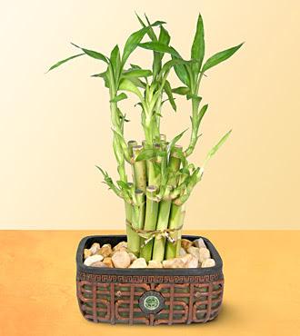 Lucky Bamboo  saksi çiçegi  Hatay online çiçekçi , çiçek siparişi
