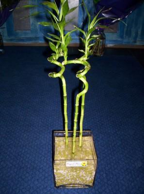 Lucky Bamboo 3 adet saksi çiçegi  Hatay İnternetten çiçek siparişi
