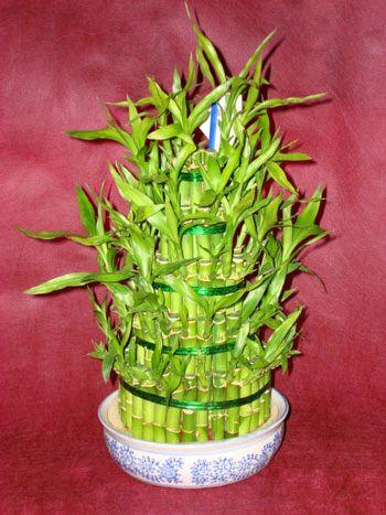 Lucky Bamboo sans melegi çiçegi  Hatay çiçek servisi , çiçekçi adresleri
