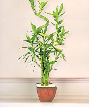 Lucky Bamboo sans melegi çiçegi  Hatay online çiçekçi , çiçek siparişi