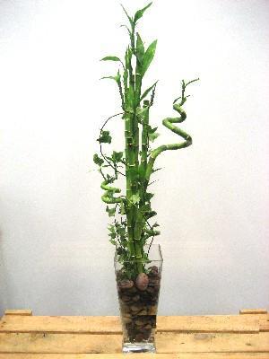 Lucky Bamboo sans melegi çiçegi  Hatay çiçek yolla , çiçek gönder , çiçekçi