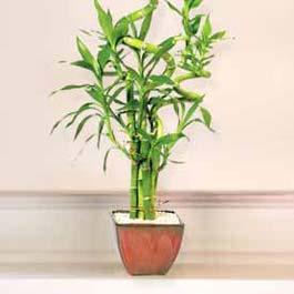 Lucky Bamboo sans melegi çiçegi  Hatay çiçek satışı