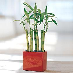 Lucky Bamboo sans melegi çiçegi  Hatay çiçek siparişi sitesi