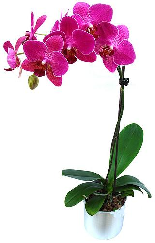 Hatay çiçek online çiçek siparişi  saksi orkide çiçegi