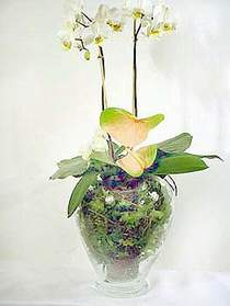 Hatay uluslararası çiçek gönderme  Cam yada mika vazoda özel orkideler