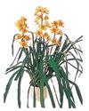 Hatay kaliteli taze ve ucuz çiçekler  Orchiede ithal büyük boy saksi
