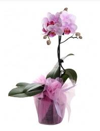 1 dal pembe orkide saksı çiçeği  Hatay hediye çiçek yolla