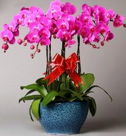 7 dallı mor orkide  Hatay çiçek satışı
