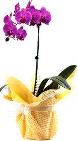 Hatay çiçek servisi , çiçekçi adresleri  Tek dal mor orkide saksı çiçeği