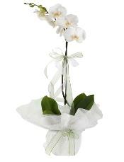 1 dal beyaz orkide çiçeği  Hatay yurtiçi ve yurtdışı çiçek siparişi