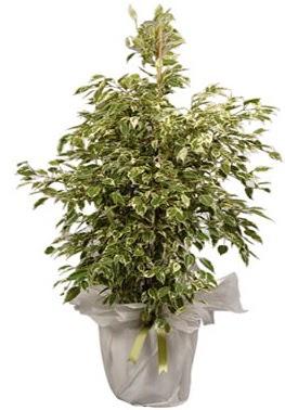 Orta boy alaca benjamin bitkisi  Hatay çiçek mağazası , çiçekçi adresleri