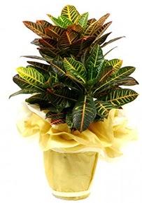 Orta boy kraton saksı çiçeği  Hatay çiçek yolla