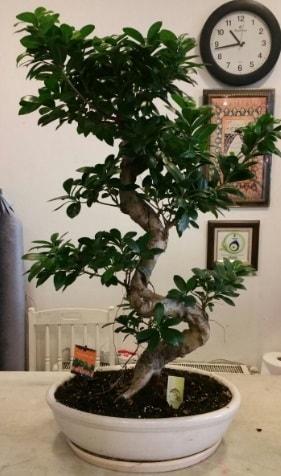 100 cm yüksekliğinde dev bonsai japon ağacı  Hatay internetten çiçek siparişi