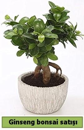 Ginseng bonsai japon ağacı satışı  Hatay cicekciler , cicek siparisi