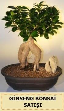 İthal Ginseng bonsai satışı japon ağacı  Hatay çiçek servisi , çiçekçi adresleri