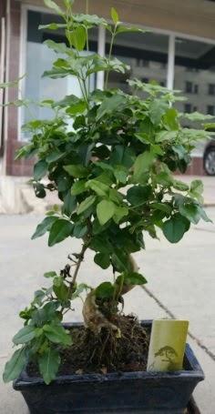 Bonsai japon ağacı saksı bitkisi  Hatay yurtiçi ve yurtdışı çiçek siparişi