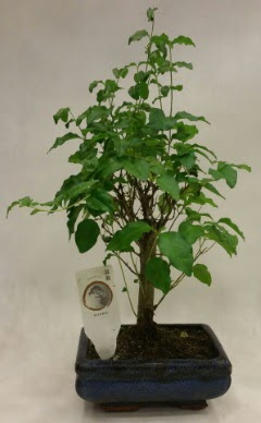 Minyatür bonsai japon ağacı satışı  Hatay cicekciler , cicek siparisi