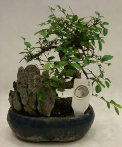 İthal 1.ci kalite bonsai japon ağacı  Hatay uluslararası çiçek gönderme