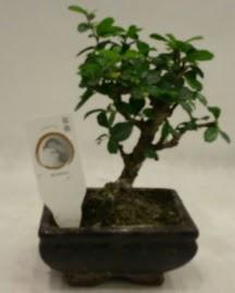 Küçük minyatür bonsai japon ağacı  Hatay cicek , cicekci