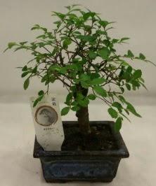 Minyatür ithal japon ağacı bonsai bitkisi  Hatay uluslararası çiçek gönderme