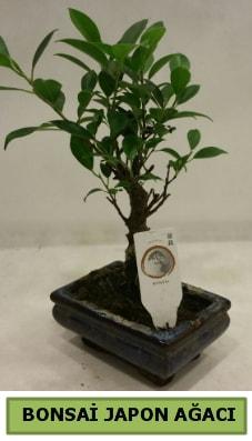 Bonsai japon ağacı saksı bitkisi  Hatay çiçek , çiçekçi , çiçekçilik