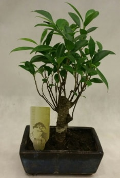 Japon ağacı bonsai bitkisi satışı  Hatay cicekciler , cicek siparisi