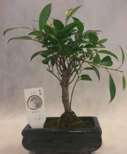 Bonsai japon ağacı bitkisi satışı  Hatay çiçek siparişi vermek