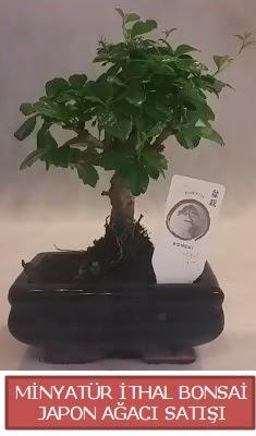 Küçük görsel bonsai japon ağacı bitkisi  Hatay 14 şubat sevgililer günü çiçek