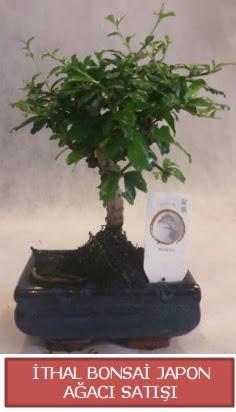 İthal küçük boy minyatür bonsai ağaç bitkisi  Hatay cicekciler , cicek siparisi