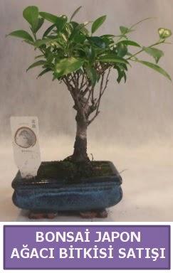 İthal Bonsai japon ağacı bitkisi satışı  Hatay internetten çiçek siparişi