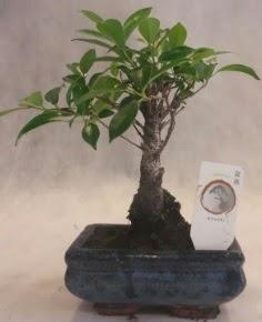Bonsai ağacı japon ağaç bitkisi  Hatay online çiçek gönderme sipariş