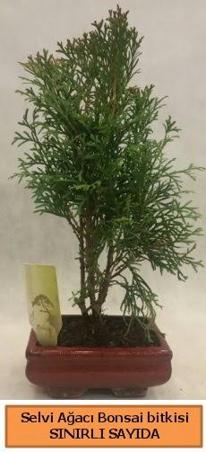 Selvi ağacı bonsai japon ağacı bitkisi  Hatay uluslararası çiçek gönderme
