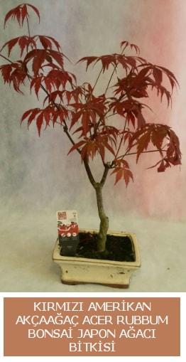 Amerikan akçaağaç Acer Rubrum bonsai  Hatay çiçek gönderme sitemiz güvenlidir