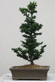Çam ağacı bonsai bitkisi satışı  Hatay cicekciler , cicek siparisi